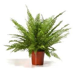 la forma en la que se distribuyen las hojas del helecho lo han convertido en una planta muy apreciada en interior y muchos lo eligen por su